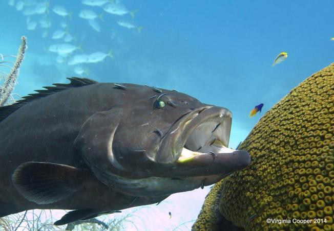 Grouper at cleaning station ©Melinda Riger @ G B Scuba copy