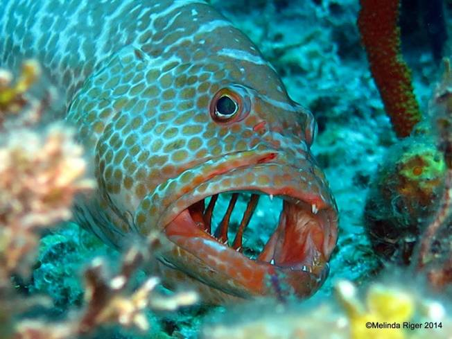 Grouper, Tiger - gills open at cleaning station ©Melinda Riger @GB Scuba copy