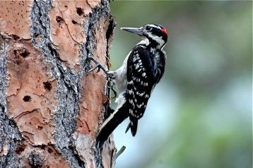Hairy Woodpecker, Abaco (Tony Hepburn)