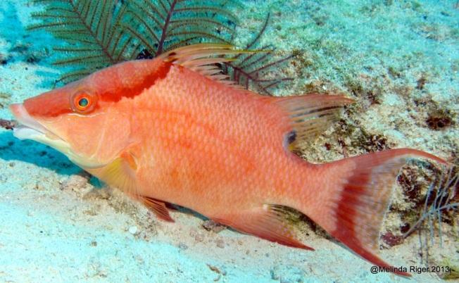 Hogfish ©Melinda Riger @ GB Scuba copy 2