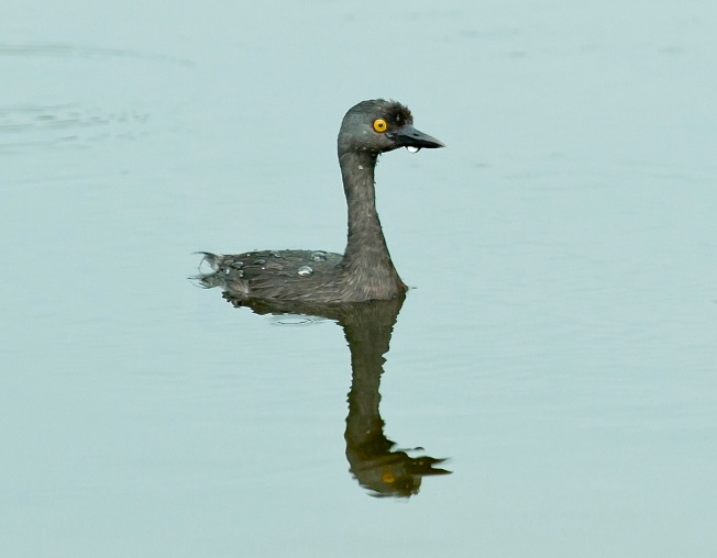 Least Grebe, Abaco Bahamas (Tom Sheley) 3