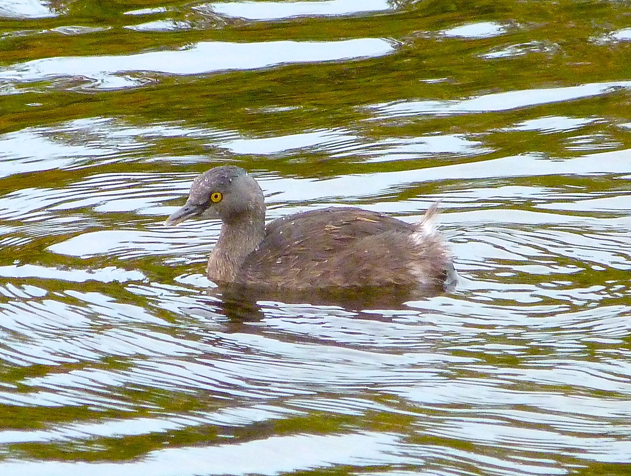 Least Grebe, Abaco (Rolling Harbour)