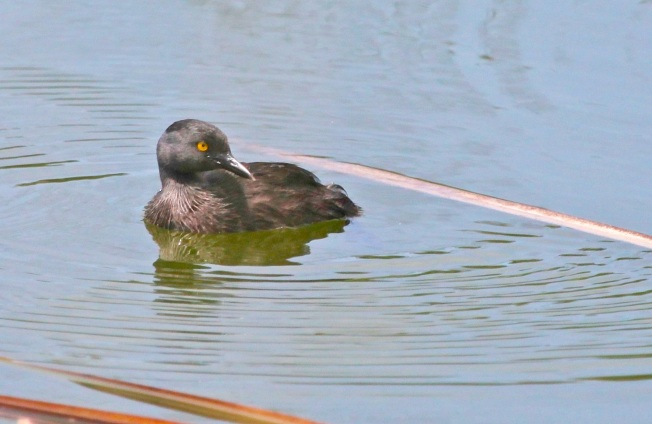 Least Grebe, Abaco  (Peter Mantle)
