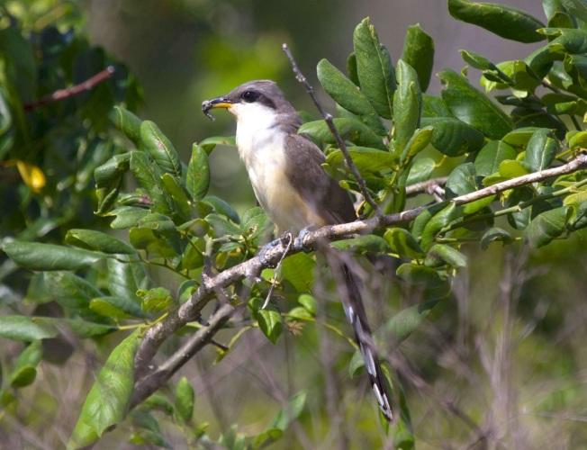 Mangrove Cuckoo, Abaco Alex Hughes