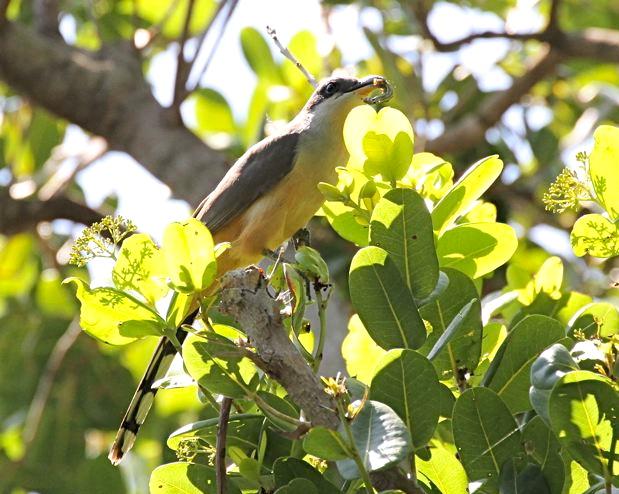 Mangrove Cuckoo, Abaco, Bahamas (Bruce Hallett)