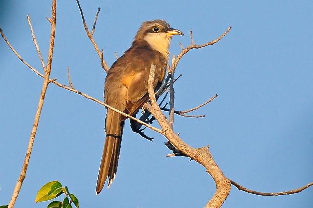 Mangrove Cuckoo, Abaco, Bahamas (Tony Hepburn)  copy