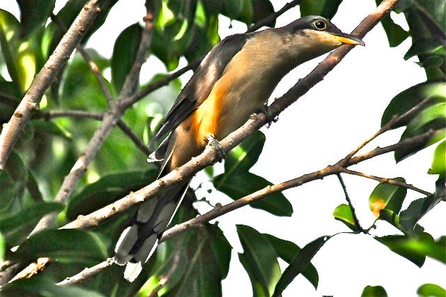 Mangrove cuckoo, Abaco Bahamas (Tony Hepburn)