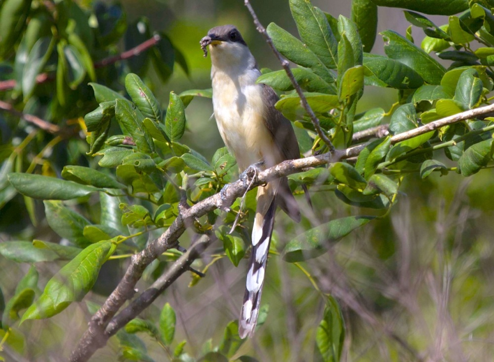 Mangrove cuckoo, Abaco Bahamas (Alex Hughes)