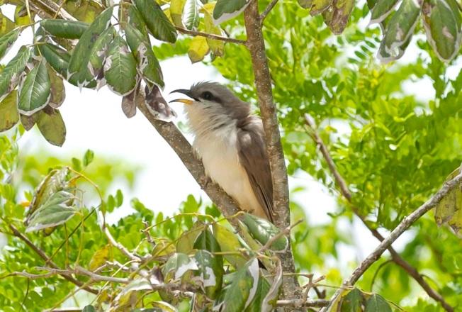 Mangrove Cuckoo, Delphi Club, Abaco, Bahamas (Tom Sheley) copy