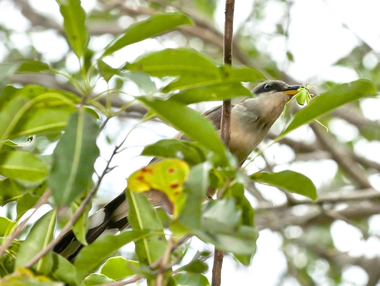 Mangrove Cuckoo with insect.Delphi Club, Abaco, Bahamas (Tom Sheley)