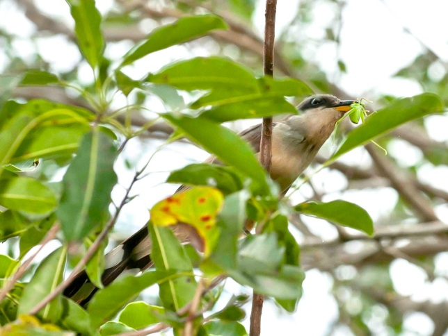 Mangrove Cuckoo with insect.Delphi Club, Abaco, Bahamas (Tom Sheley)