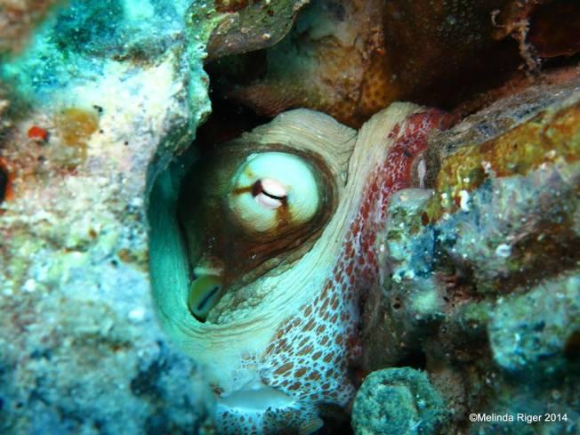 Octopus ©Melinda Riger @ G B Scuba