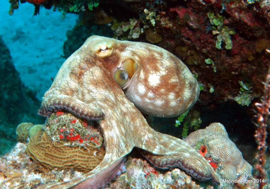 Octopus ©Melinda Riger @ Grand Bahama Scuba