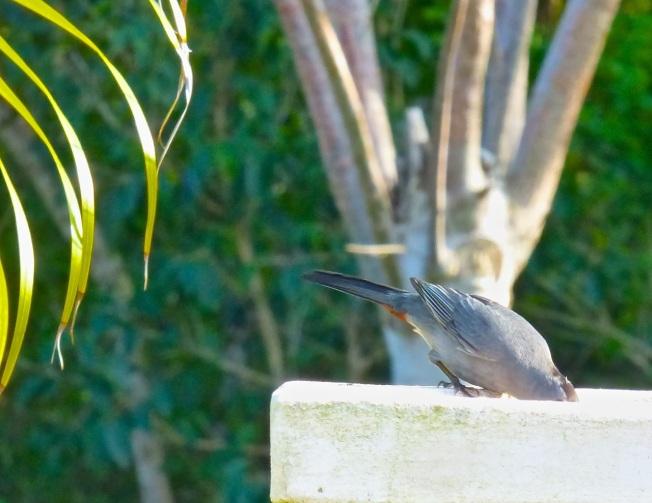 Gray Catbird, Delphi, Abaco 6