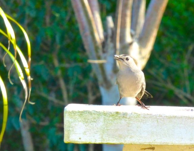 Gray Catbird, Delphi, Abaco 7