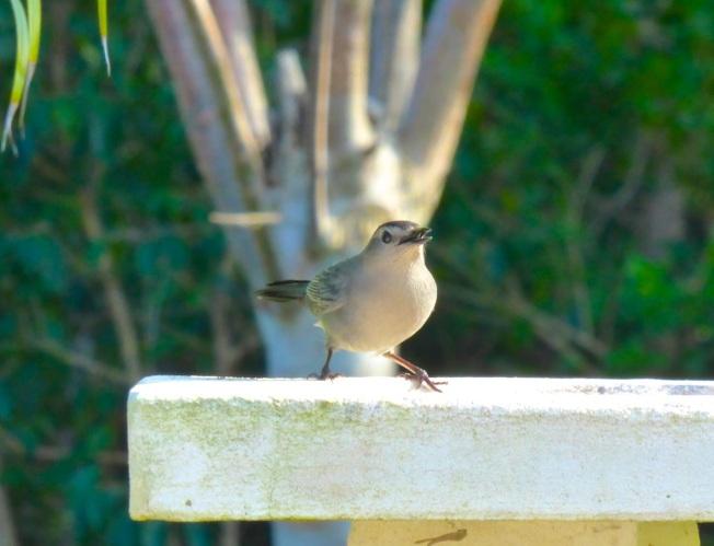 Gray Catbird, Delphi, Abaco 8