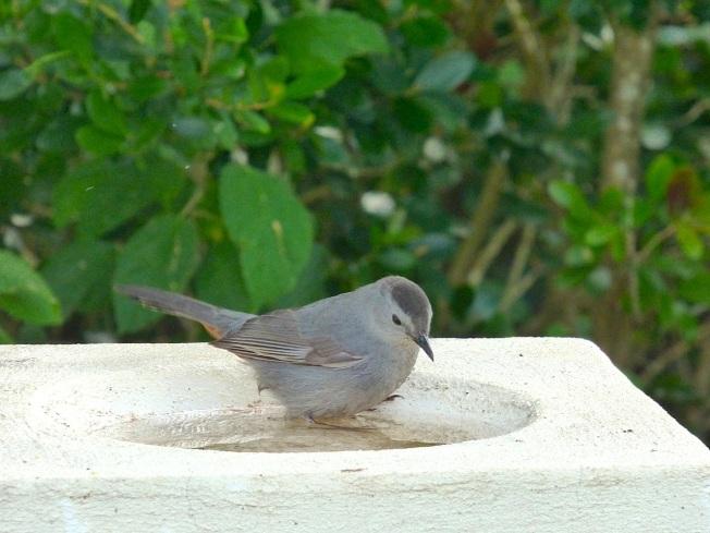 Gray Catbird, Delphi, Abaco 5