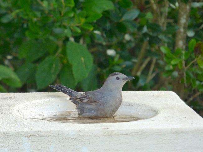Gray Catbird, Delphi, Abaco 4