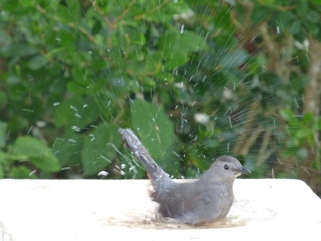 Gray Catbird, Delphi, Abaco 3