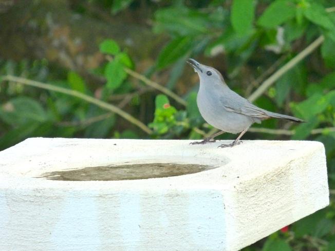 Gray Catbird, Delphi, Abaco 2