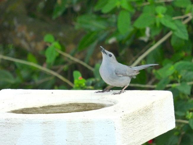 Gray Catbird, Delphi, Abaco 1