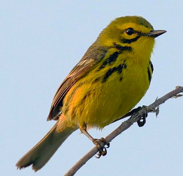 Prairie Warbler Dendroica discolor Wolfgang Wander (Wiki)