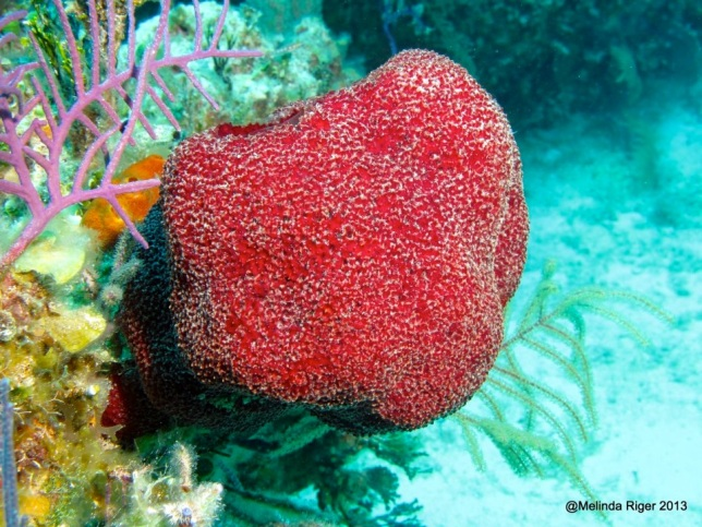Red Sponge ©Melinda Riger @ GB Scuba copy