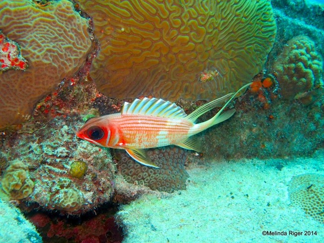 Squirrelfish (Elvis) ©Melinda Riger @ Grand Bahama Scuba copy