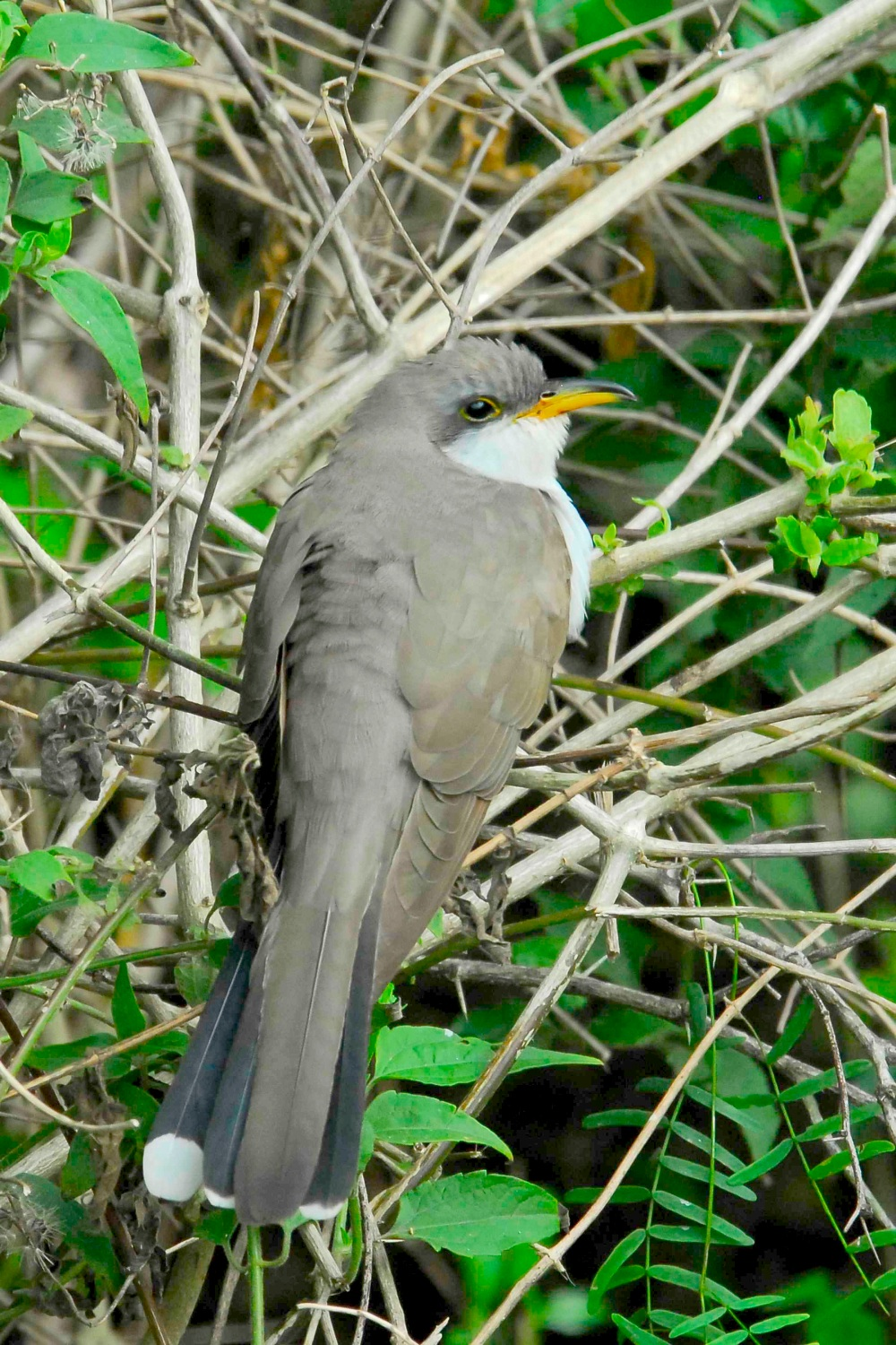 Yellow billed cuckoo, Abaco Bahamas (Tom Sheley)