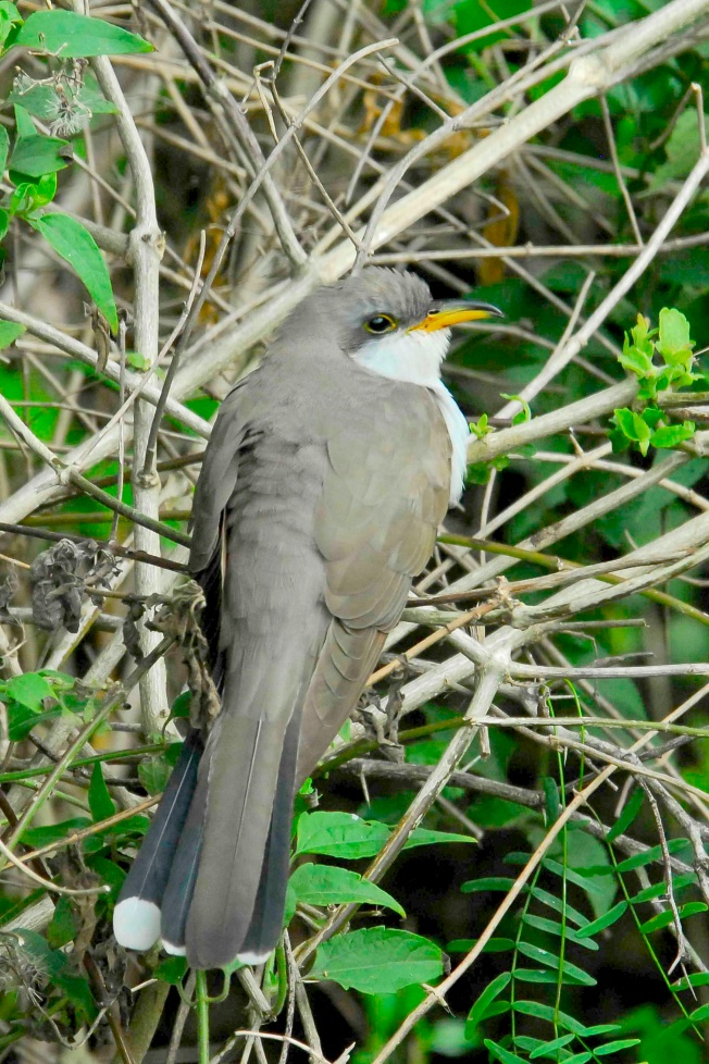 Yellow-billed Cuckoo, Abaco, Bahamas (Tom Sheley) copy