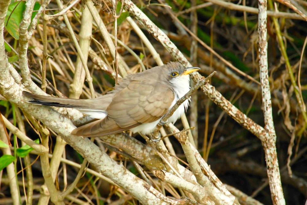 Yellow billed cuckoo, Abaco Bahamas (Tom Sheley)