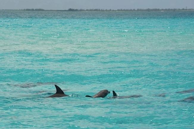 Bottlenose Dolphin, Abaco, Bahamas (BMMRO)