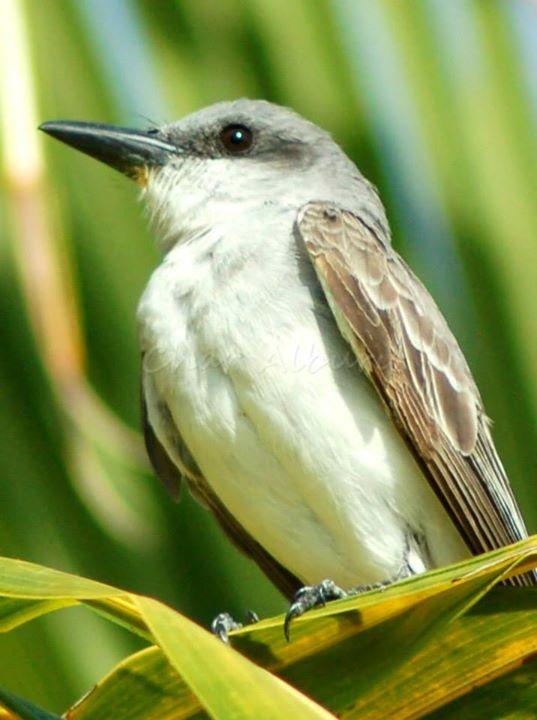 Gray Kingbird, Abaco (Charmaine Albury)