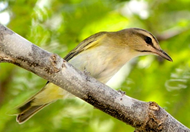 Black-whiskered Vireo, Abaco (Charmaine Albury)