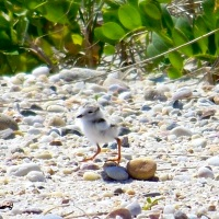RARE GEMS: PIPING PLOVERS ON ABACO (1)