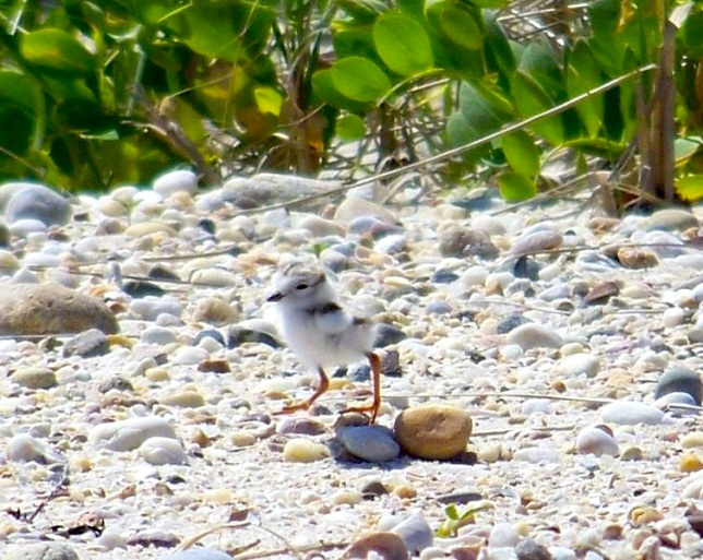 Piping Plover Chick (Beaun -Wiki)