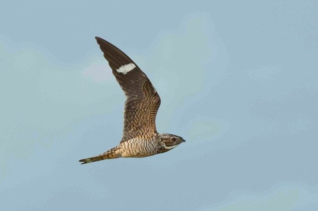 Antillean Nighthawk in flight 2. Abaco bahamas.6.13.Tom Sheley