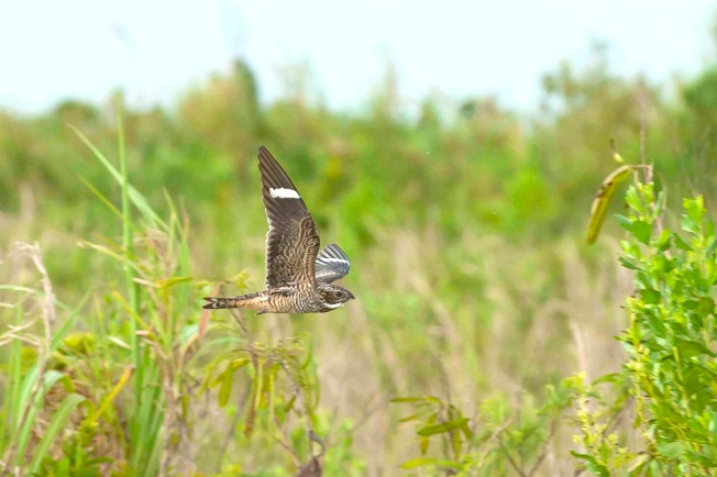 Antillean Nighthawk in flight 3. Abaco Bahamas.6.13.Tom Sheley