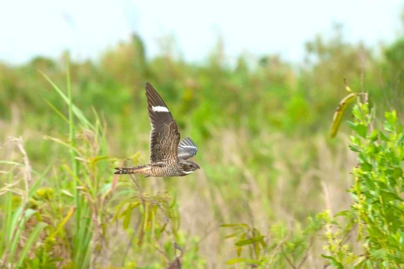 Antillean Nighthawk in flight 3. Abaco Bahamas.6.13.Tom Sheley