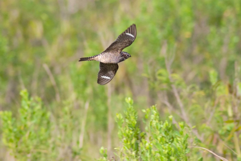 Antillean Nighthawk, Abaco (Sandy Walker)