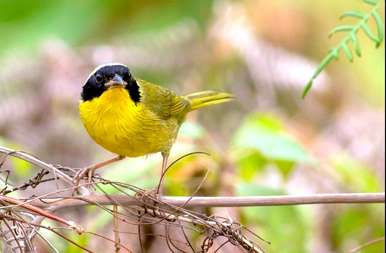 Bahama Yellowthroat, Abaco Bahamas (Tom Reed)