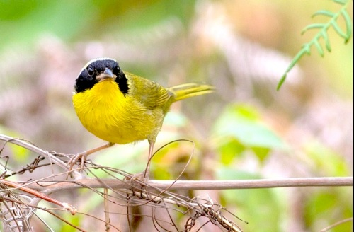 Bahama Yellowthroat, Abaco - Tom Reed