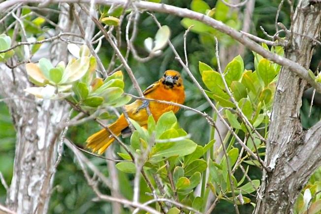 Baltimore Oriole (f), Man-o-War Cay Abaco (Charmaine Albury)