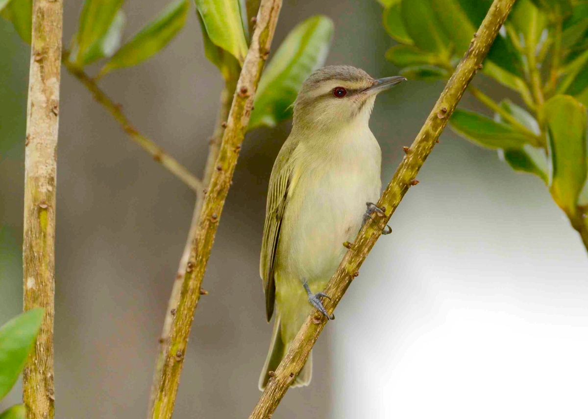 Black-whiskered Vireo, Abaco