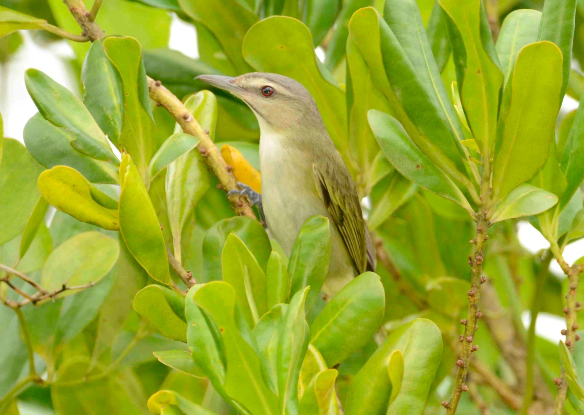 Black-whiskered Vireo, Abaco Bahamas 2 (Tom Sheley)