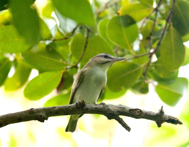 black-whiskered-vireo, Abaco (Erik Gauger) 1