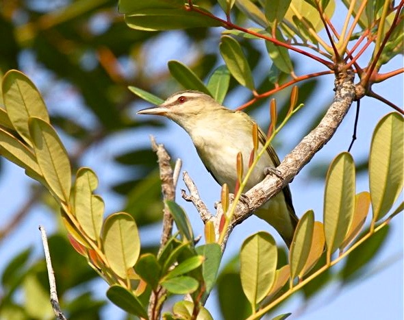 Black-whiskered Vireo, Abaco (Bruce Hallett)