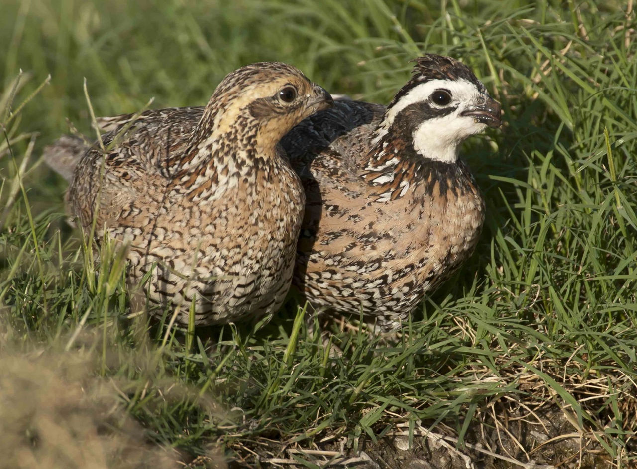 Northern Bobwhite pair, Abaco Bahamas (Tom Sheley)