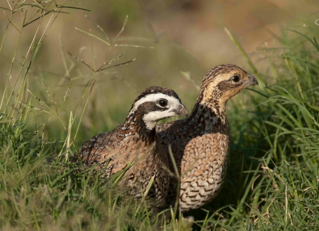 Bobwhite pair.Abaco Bahamas.Tom Sheley cr
