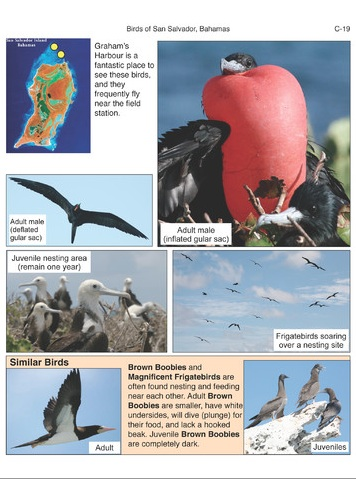 Birds of San Salvador (sample page 2)